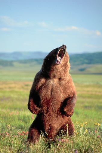 Roaring「Grizzly Bear Standing and Roaring」:スマホ壁紙(8)