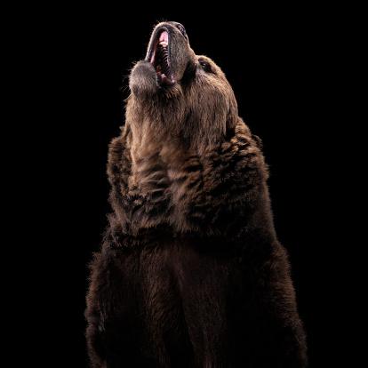 Animal Themes「Grizzly Bear」:スマホ壁紙(1)