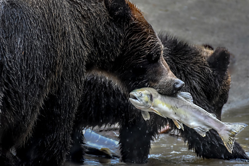 焦点「Grizzly bear with a fish in her mouth and her cub, Effingham Inlet, British Columbia, Canada」:スマホ壁紙(0)