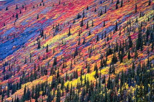 Boreal Forest「Detail on the Yukon Mountains of the colorful tundra in autumn among spruce trees」:スマホ壁紙(17)