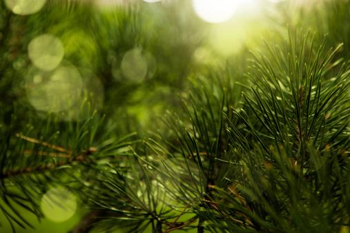 Coniferous Tree「Christmas tree」:スマホ壁紙(11)