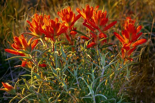 Sandia Mountains「red wildflower blooms」:スマホ壁紙(9)