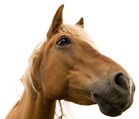 Animal Head「Isolated horse on white background」:スマホ壁紙(19)