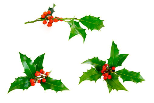 Branch - Plant Part「Isolated Holly Twig Selection」:スマホ壁紙(12)