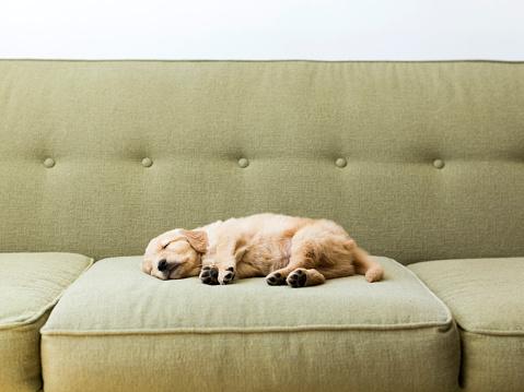 Puppy「Puppy sleeping on sofa」:スマホ壁紙(11)