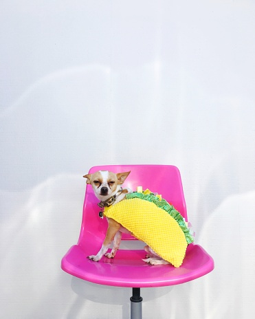 Halloween costume「Chihuahua dog sitting on a chair dressed in a Taco costume」:スマホ壁紙(14)