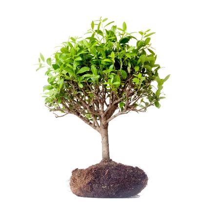 Planting「Bonsai tree」:スマホ壁紙(17)