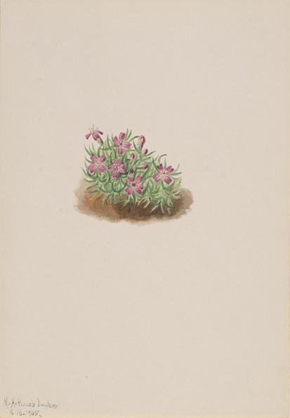 Wildflower「Carpet Pink (Silene Acaulis)」:写真・画像(13)[壁紙.com]