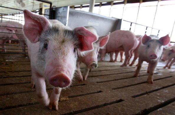 Farm「Misconceptions Surrounding Eating Pork And The Swine Flu Lower Hog Prices」:写真・画像(11)[壁紙.com]