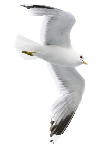 Seagull「Seagull with clipping path on white background」:スマホ壁紙(17)