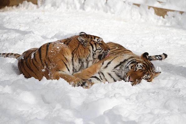 Animal「Two Siberian Tigers Welcome Winter Snow In Yantai」:写真・画像(3)[壁紙.com]