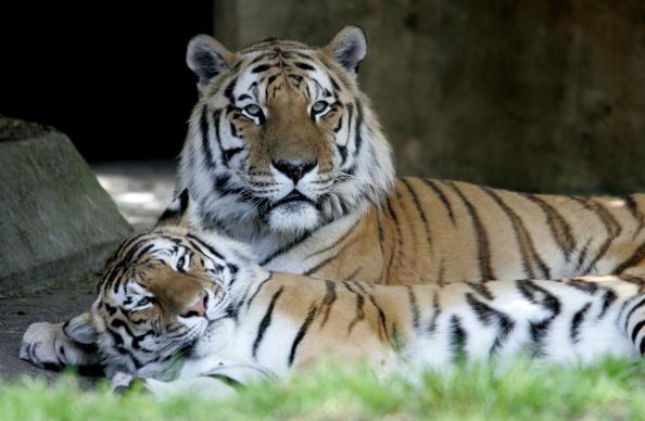 Tiger「FILE: Tiger Kills Man At San Francisco Zoo」:写真・画像(16)[壁紙.com]