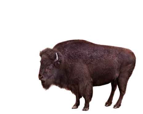 Horned「Bison on white background」:スマホ壁紙(1)