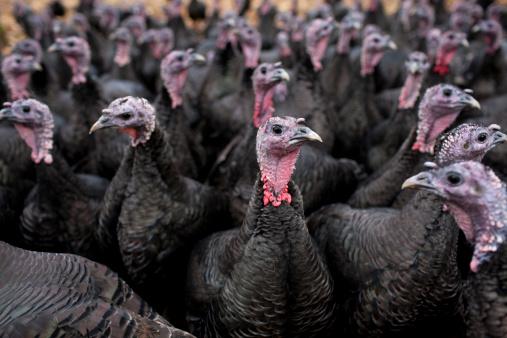 Turkey - Bird「Bronze free-range turkeys」:スマホ壁紙(18)