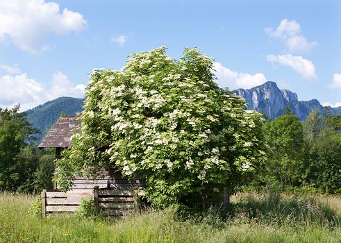 Agricultural Building「Austria, Salzkammergut, Mondsee, blooming elder bush」:スマホ壁紙(16)
