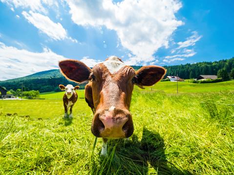 Animal Head「Austria, Salzkammergut, cow on meadow, looking at camera」:スマホ壁紙(19)