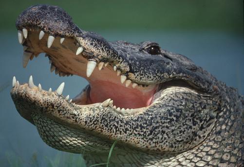 Animal Head「Alligator portrait close up」:スマホ壁紙(2)