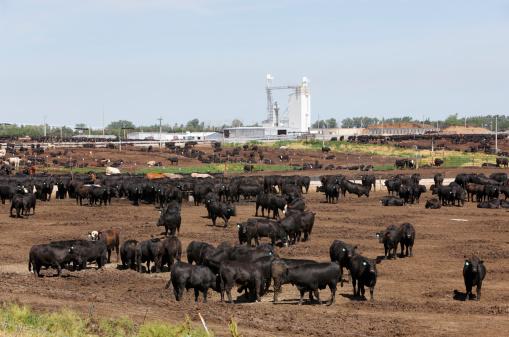Beef「Cattle in dry outdoor Kansas feedlot」:スマホ壁紙(3)
