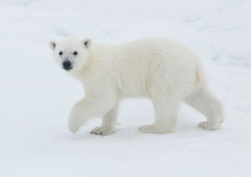 Pack Ice「Young Polar Bear Cub on pack ice of Norway」:スマホ壁紙(10)