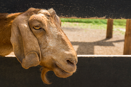 Goatee「Profile of a goat poking through two wooden slats of a fence.」:スマホ壁紙(7)