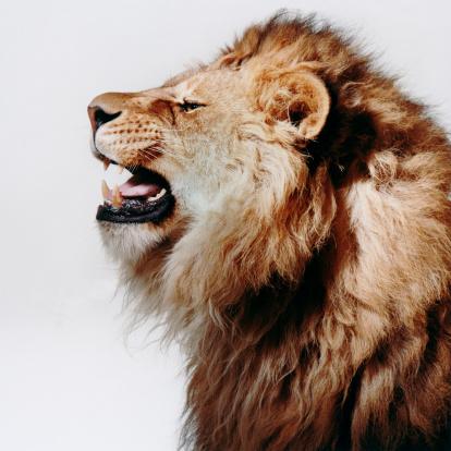 Roaring「Profile of Roaring Lion」:スマホ壁紙(16)