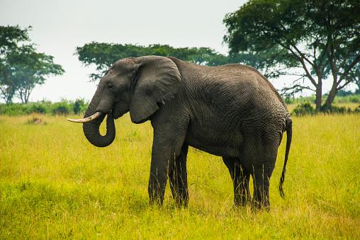 Horned「Africa, Uganda, African elephant, Loxodonta africana, Queen Elisabeth National Park」:スマホ壁紙(2)