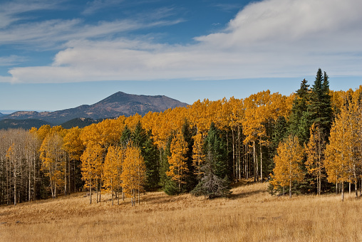 Aspen Tree「Fall Colored Aspens on Hart Prairie」:スマホ壁紙(1)