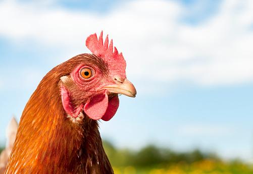 Animal Head「Hen Headshot」:スマホ壁紙(13)