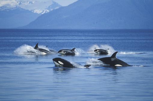 Medium Group Of Animals「Pod of Killer Whales in Frederick Sound」:スマホ壁紙(11)