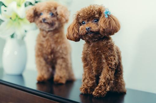 Teenager「Two Lovely Little Teddy Dogs」:スマホ壁紙(14)