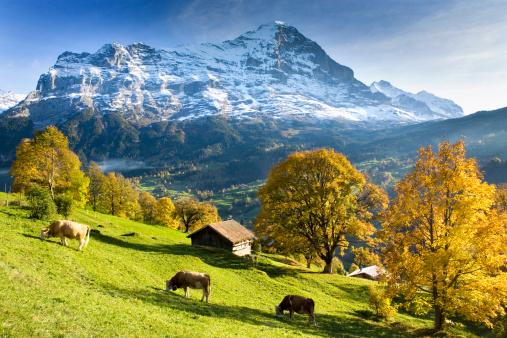 Females「Switzerland, Bernese Oberland, Grindelwald, cows by huts」:スマホ壁紙(10)