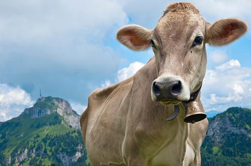 Cow「Switzerland, Canton of Appenzell Innerrhoden, Cow with bell, Hoher Kasten in the background」:スマホ壁紙(16)