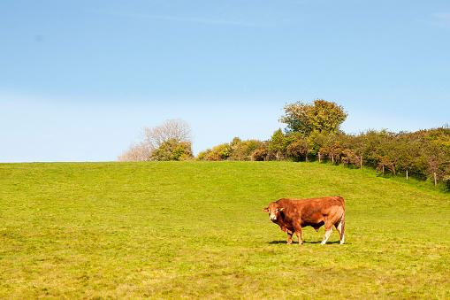 Isle of Man「Heroford Red Bull standing alone in a meadow」:スマホ壁紙(15)