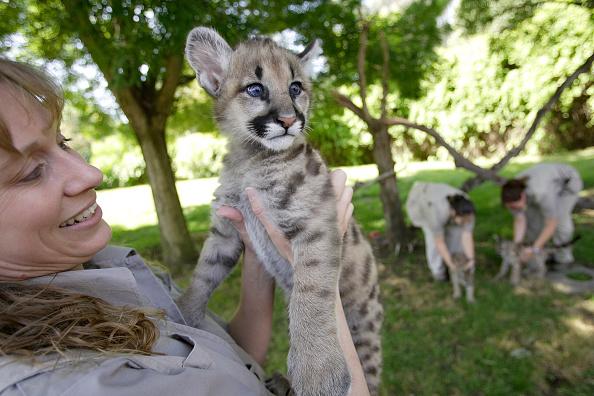 David Paul Morris「Rescued Cougar Cubs Make New Home In California」:写真・画像(18)[壁紙.com]