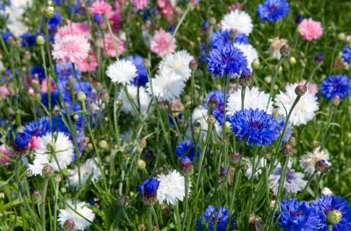 Wildflower「Mixed cornflowers (Centaurea cyanus)」:スマホ壁紙(14)