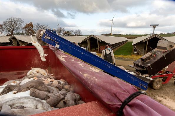 Denmark「Disaster In Denmark As Covid-19 Mutation Detected On Mink Farms」:写真・画像(12)[壁紙.com]