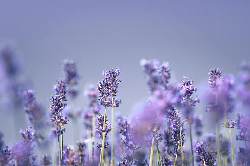 Botany「Lavender」:スマホ壁紙(4)
