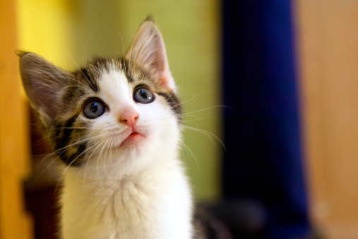 Shorthair Cat「Kitten facing up with a questioning facial expression」:スマホ壁紙(1)