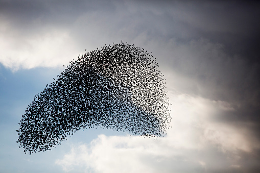 Flock Of Birds「Large murmuration of starlings」:スマホ壁紙(7)