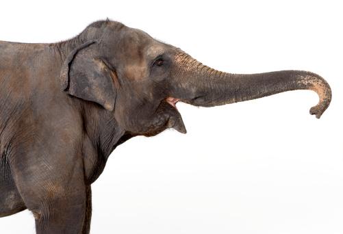 Animal Nose「Elephant against white background」:スマホ壁紙(8)