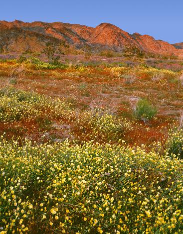 コットンウッド山脈「Sunset light on spring bloom of desert dandelion (Malacothrix glabrata) and Arizona lupine (Lupinus arizonicus) beneath Cottonwood Mountains, Joshua Tree National Park, California, USA」:スマホ壁紙(5)