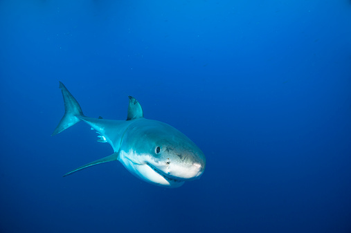 Central America「Mexico, Guadalupe, Pacific Ocean, white shark, Carcharodon carcharias」:スマホ壁紙(11)