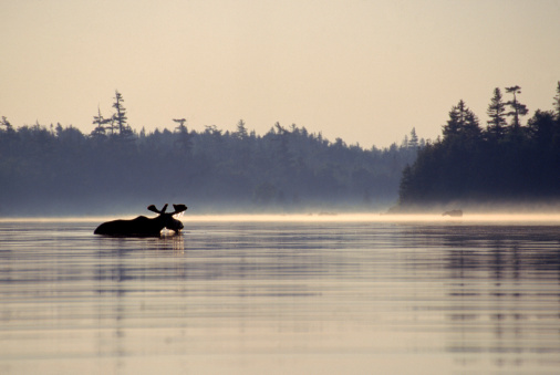 Cool Attitude「A moose cooling off half immersed in the river, Maine, USA.」:スマホ壁紙(7)