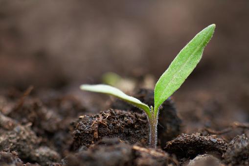 Planting「organic tomato seedling」:スマホ壁紙(8)