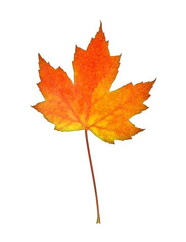 かえでの葉「Orange & yellow maple leaf on white.」:スマホ壁紙(10)