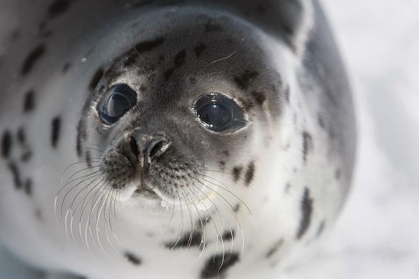 North Atlantic Ocean「Canada Raises Quota For Controversial Seal Hunt」:写真・画像(9)[壁紙.com]