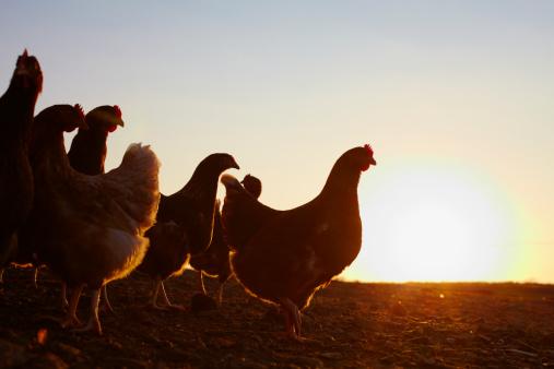 Medium Group Of Animals「A flock on free-range chickens at sunrise.」:スマホ壁紙(15)
