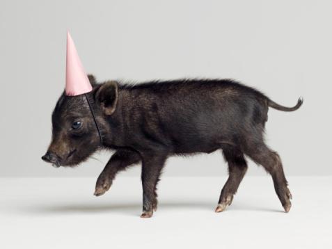 Walking「Miniature piglet wearing party hat, side view, studio shot」:スマホ壁紙(5)