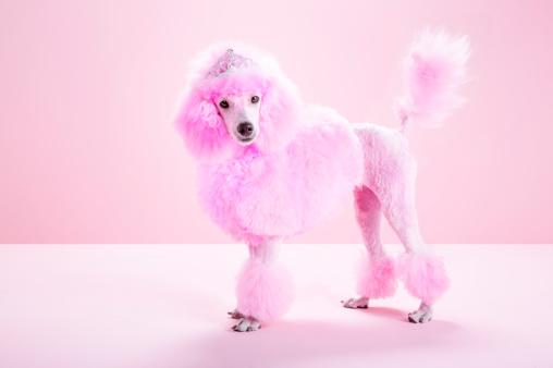 Crown - Headwear「Miniature Pink poodle, pink poodle,studio」:スマホ壁紙(14)