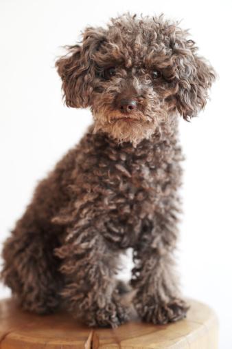 One Animal「Miniature poodle sitting on wooden block」:スマホ壁紙(13)